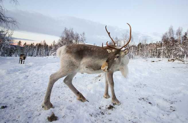 Sami-reindeer-two
