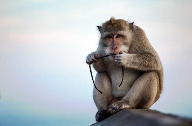 Macaquemonkey