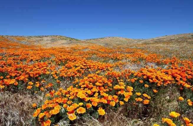 1-wildflowers-antelope-valley-california