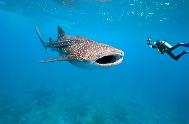 Whale Sharks, Belize