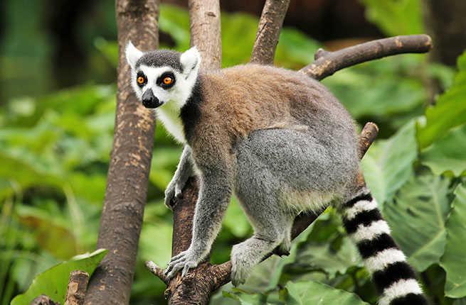 7-madagascar-ring-tailed-lemur.jpg