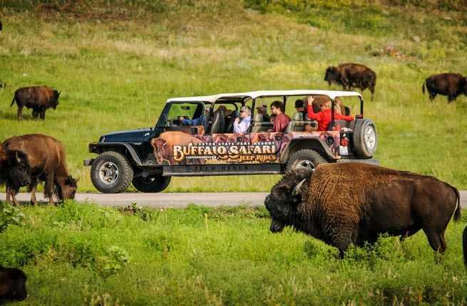 Custer State Park Buffalo Safari Jeep Tour
