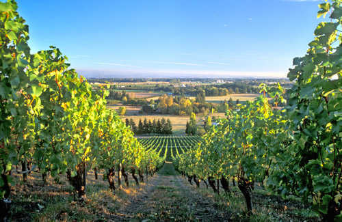 Willamette Valley  Boutique Hotels and Pinot NoirPinot Noir Grape Vines
