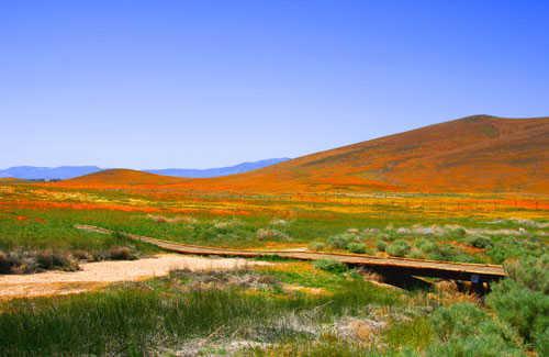 Poppies: Mojave Desert, California
