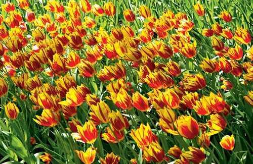 Tulips: Holland's Keukenhof Gardens