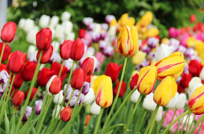 america's best spring flower festivals  fodors travel guide, Beautiful flower