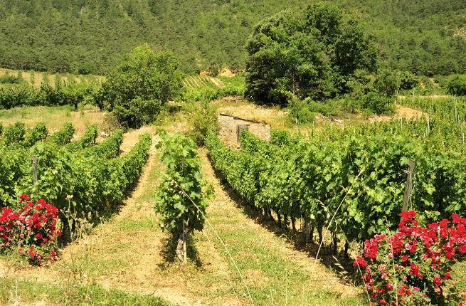 Tarn vineyard