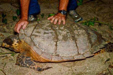 Nesting Sea Turtles