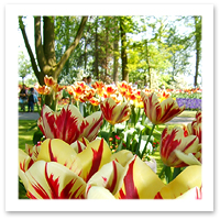 Tulips in Keukenhof, Holland