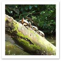Turtles in Tortuguero National Park, Costa Rica