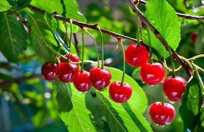 1_cherries.jpg