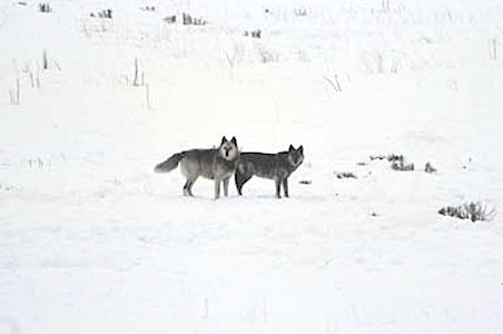 2--Yellowstone-Wolves.jpg