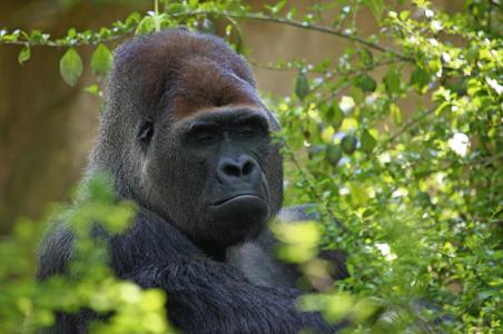 2-gorilla-volcanoes-safaris-uganda.jpg