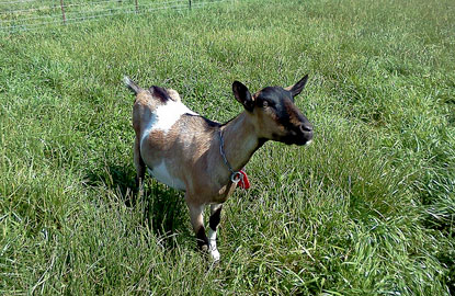 3-half-moon-bay-goats.jpg