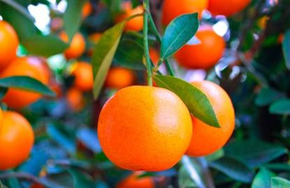 4-Mandarin-Oranges.jpg
