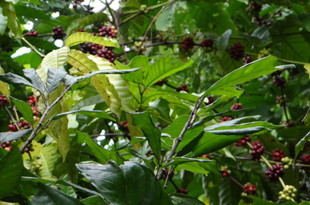 4-coffee-plantation.jpg