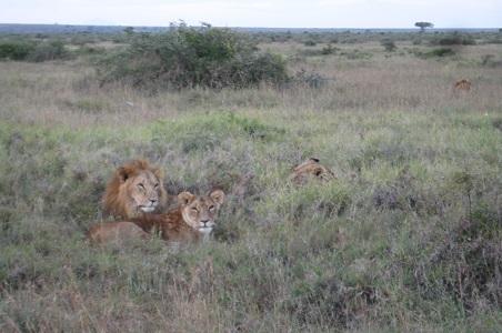 4.%20Loisaba-lions-kenya.jpg