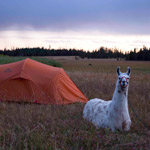 Tip of the Week: Hike Wyoming Backcountry with a Llama at your Side