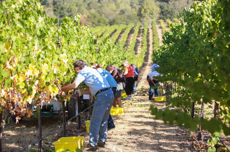 Just Back From: Sonoma County Grape Camp