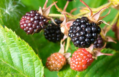 6_blackberries.jpg