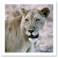 Alexis-Just-Back-Tanzania-lion.jpg