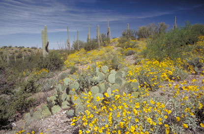 Arizona-Saguaro-National-Park-flowers.jpg