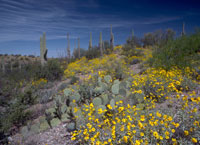Arizona-Saguaro-National-Park-wildflowers.jpg