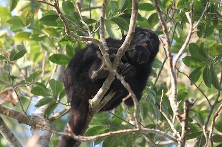 Belize-Turtle-Inn-Howler-Monkey.jpg