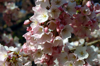 Blossom-close-upDavid-Luria.jpg