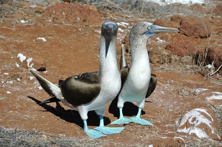 Blue-Footed%20Booby-Galapagos.JPG