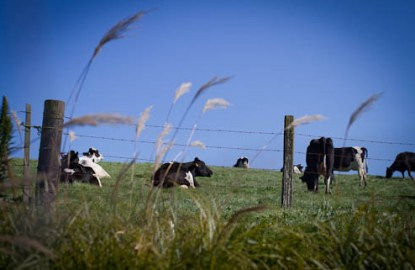 California-Point-Reyes-cows.jpg