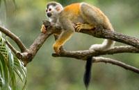 Costa-Rica-Manuel-Antonio-Squirel-Monkey.jpg