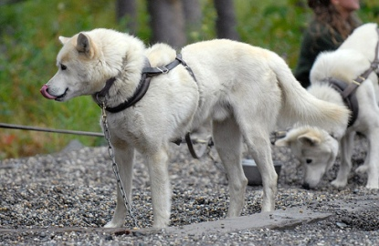 Denali-sled-dog.jpg