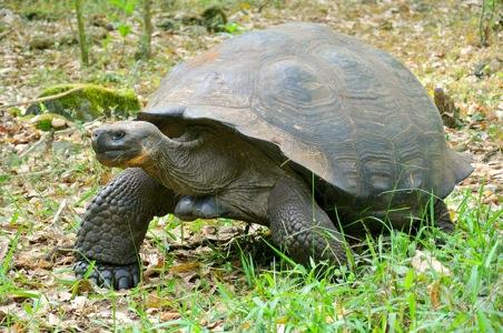 Giant-Tortoise-Galapagos.JPG
