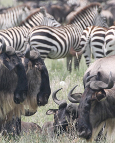 Kenya-Great-Migration-wildebeast-zebras.jpg