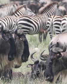 Kenya-Great-Migration-wildebeast-zebras.jpg