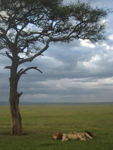 Kenya-Lions-sleeping.jpg