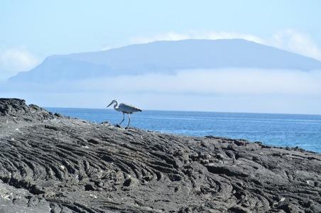 Landscape-blue-heron-Galapagos.JPG