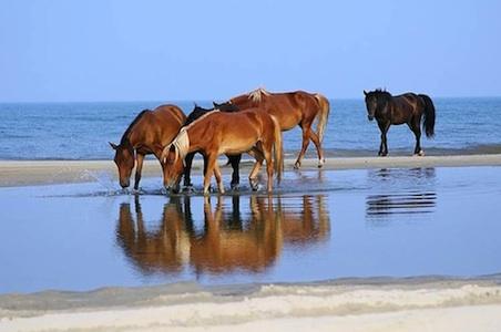North-Carolina-Corolla-Wild-Horse-Fund.jpg