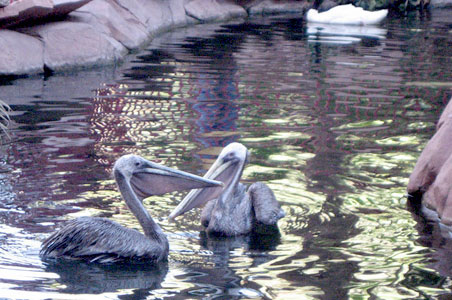 Pelicans-swimming.jpg