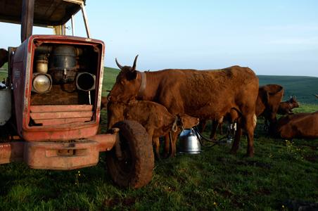 Salers-calf.jpg