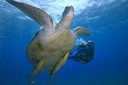 Sea-Turtle-Red-Sea-PADI.jpg