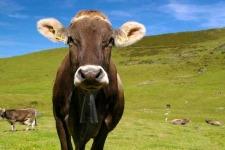 Switzerland-Cow.jpg