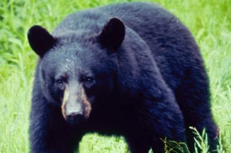 Tennessee-Great-Smokey-Mountains-National-Park-black-bear.jpg