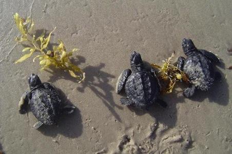 Texas-Padre-Island-Hatchlings.jpg