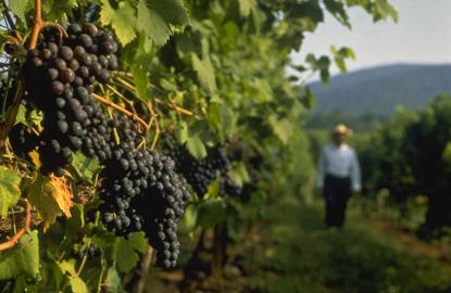 Virginia-wine-grapes.JPG
