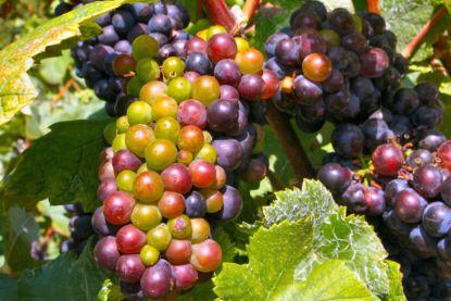 Wine-grapes.jpg