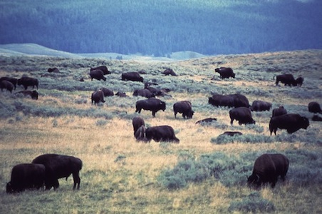 Yellowstone-National-Park-Bison%20.jpg