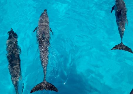 bimini-dolphins.jpg