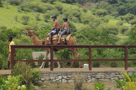 camels-jamaica.jpg